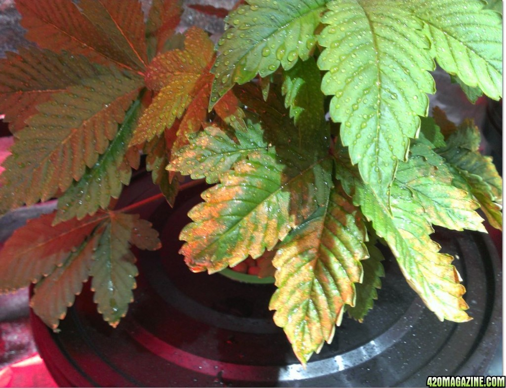 rust and curling leaves | 420 Magazine