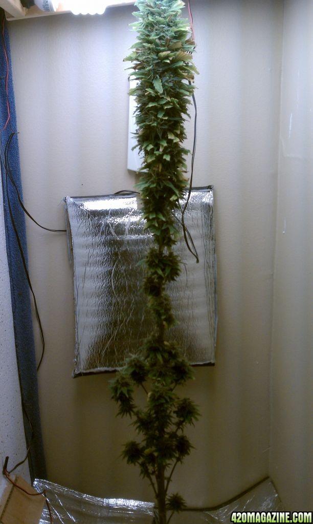 Grow Room Setup: CFL + DWC + Stealth Cabinet Grow