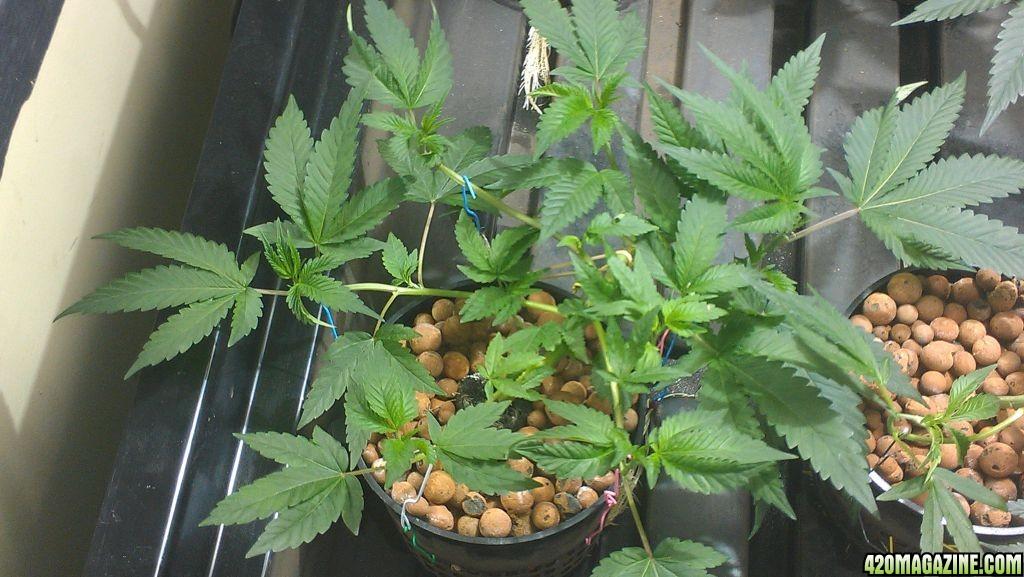 My First Grow Journal Holy Grail Kush,Purple Kush 6x12 scrog 4