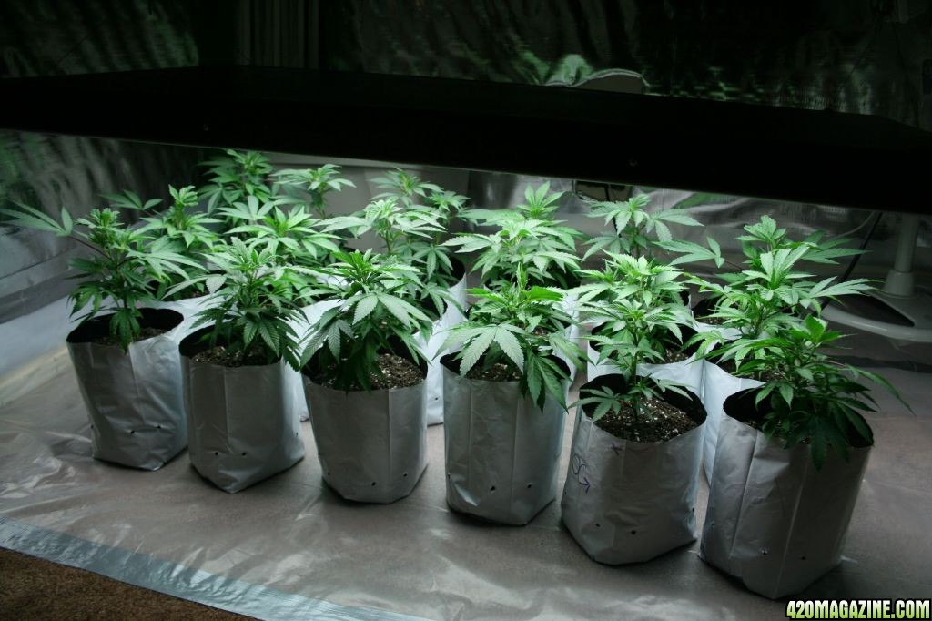 18 Plant T5 12 Bulb Setup Og Kush And La Con Check It And