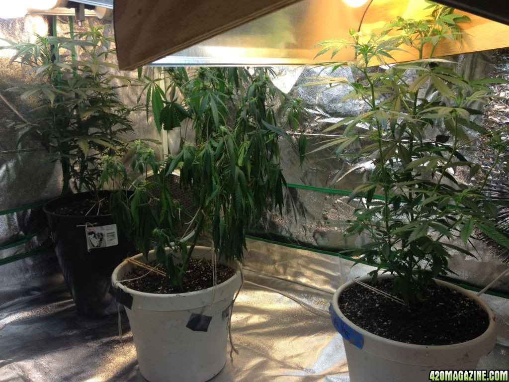 Things I need help with! So what happened when I started my seedlings is the Afghan ended up having the shell stuck on it and when it fell off it took most ... & First Ever Tent Grow Using CFLs | 420 Magazine ®
