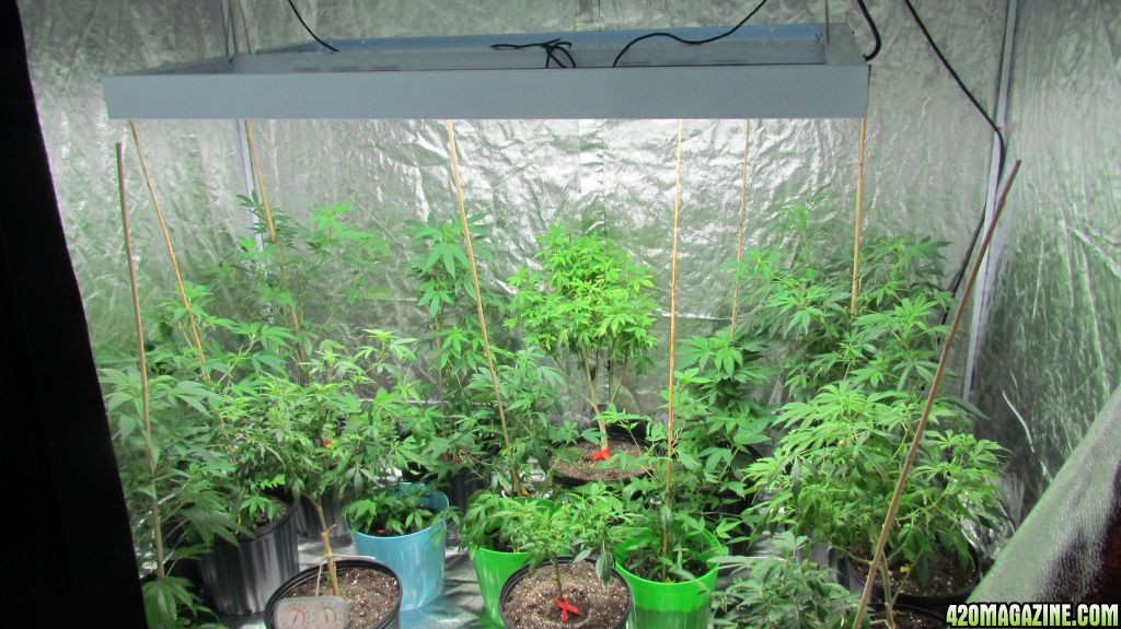 4x8 Grow Tent Setup Amp Here Is A Picture Of The Mothers