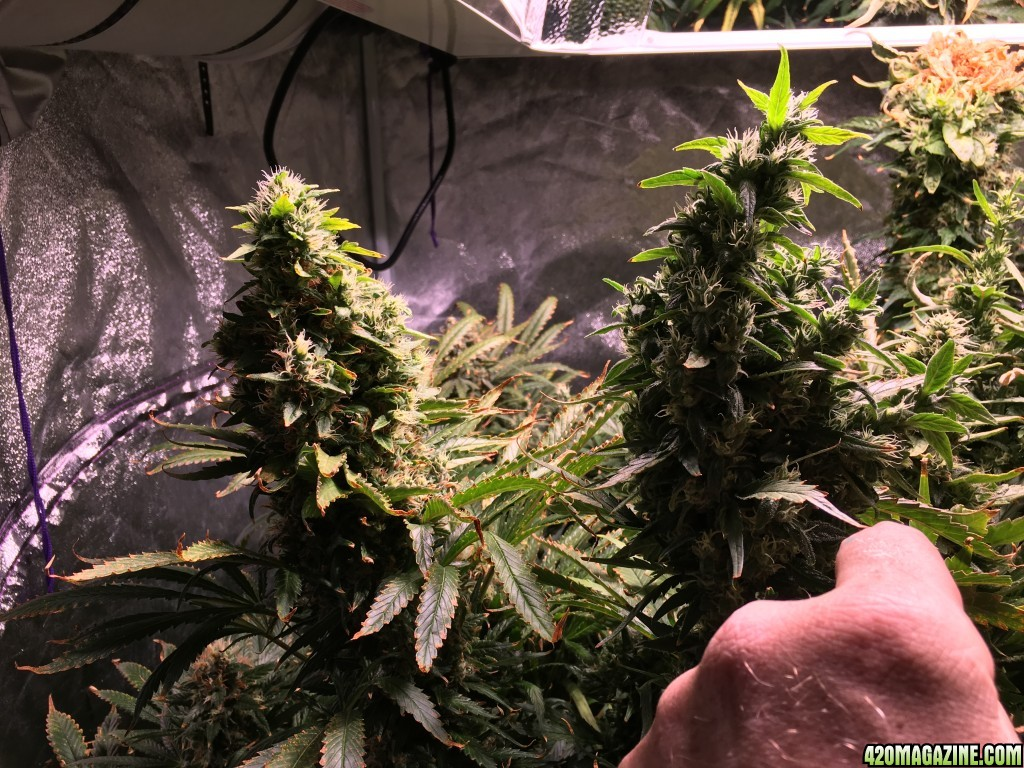 colorado griz u0027s ebb u0026 flow coco lec 630 grow journal