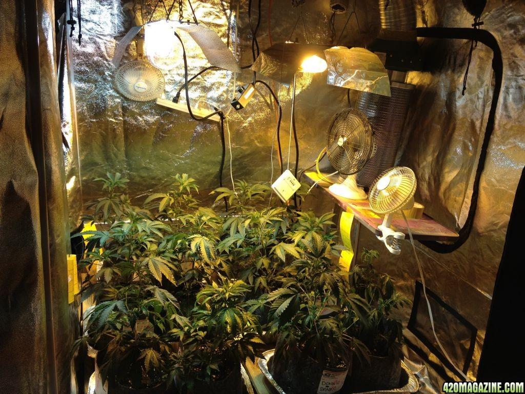 Savory S 5x5 Cherry Pie Grow Tent 420 Magazine