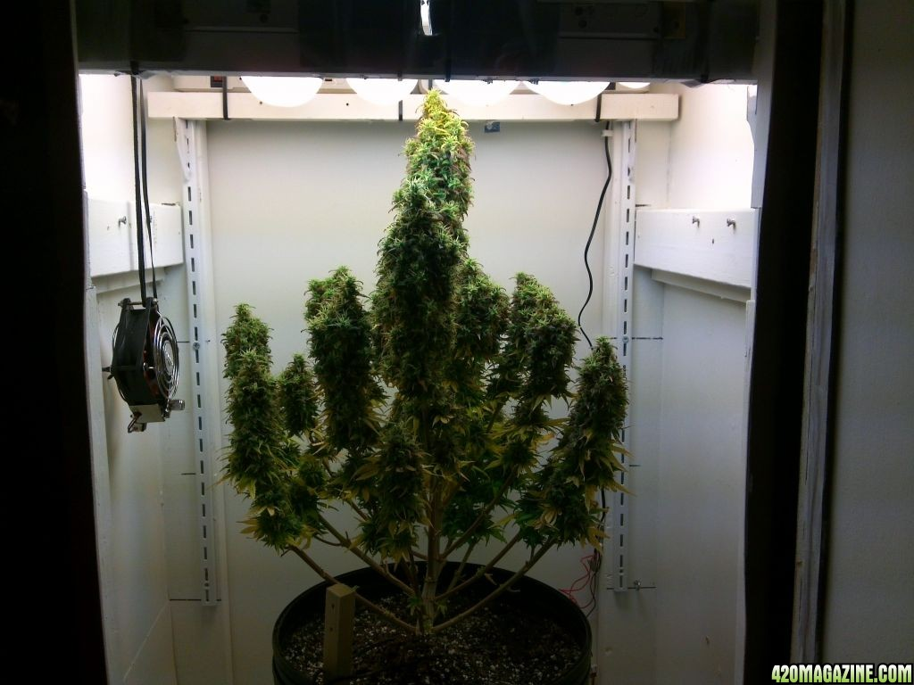 Nlnovice S Northern Lights Soil Cfl Cabinet Grow 2012 Page 3