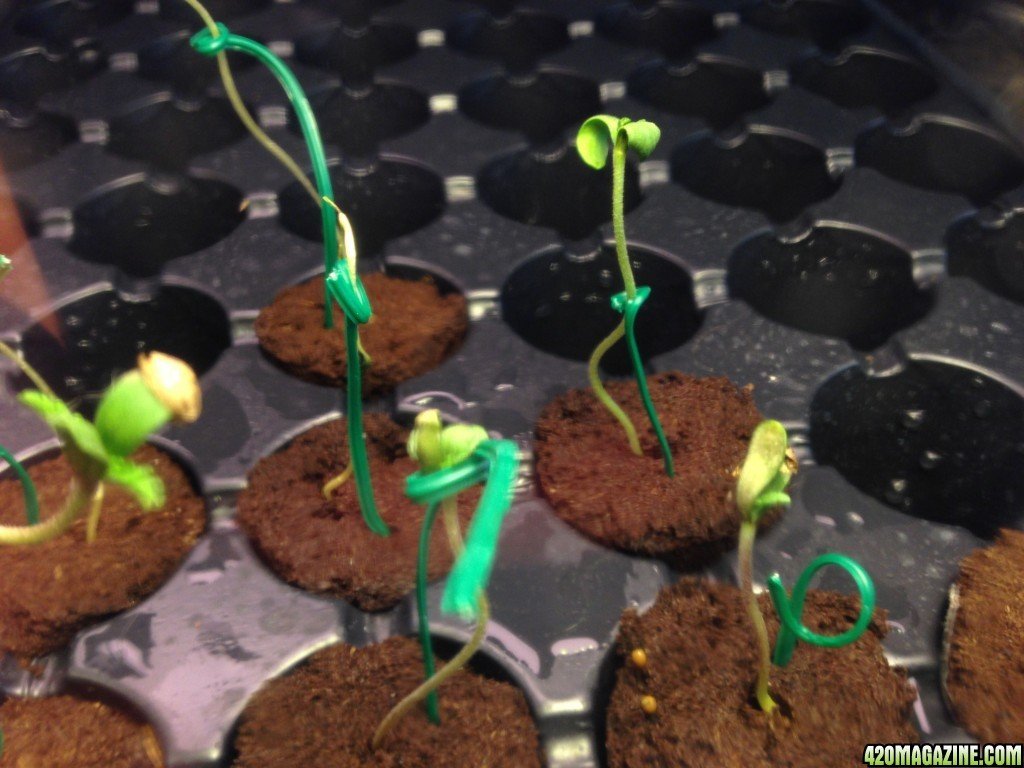 Newbie Struggles With Germination Rapid Rooters And The Meaning Of