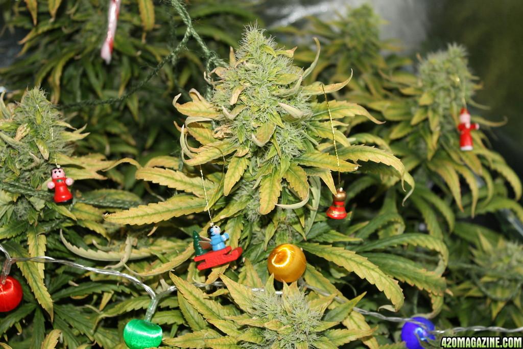 Share your Cannabis Christmas Tree Pics! Ho Ho Ho