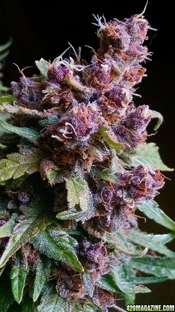 The Cure - Purple Haze