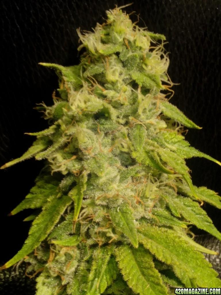 Grow 03 - Bodhi Seeds - Soil - Indoor - 2015 | 420 Magazine ®