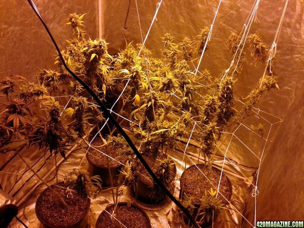 Trying this SCROG thing all the cool kids are doing | 420 Magazine ®
