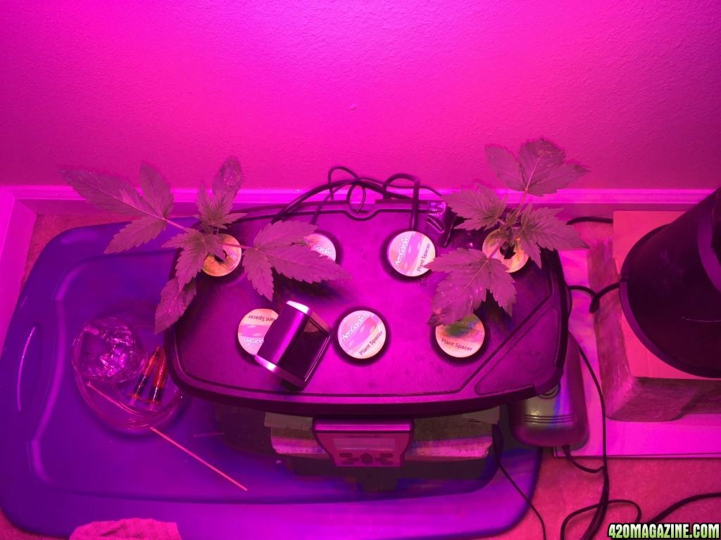 how to grow weed using aerogarden