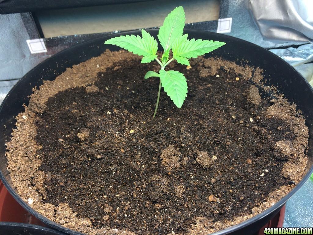 how to grow marijuana indoor in soil