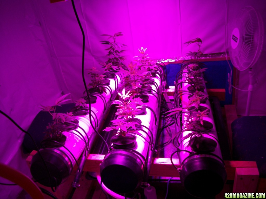 KingJohnC_s_Green_Sun_LED_Lights_Znet4_Aeroponic_Indoor_Grow_Journal_and_Review_2014-09-02_-_001.JPG