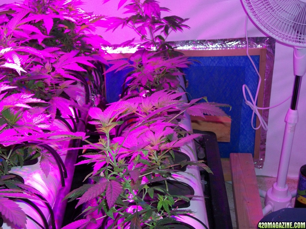 KingJohnC_s_Green_Sun_LED_Lights_Znet4_Aeroponic_Indoor_Grow_Journal_and_Review_2014-09-12_-_002.JPG