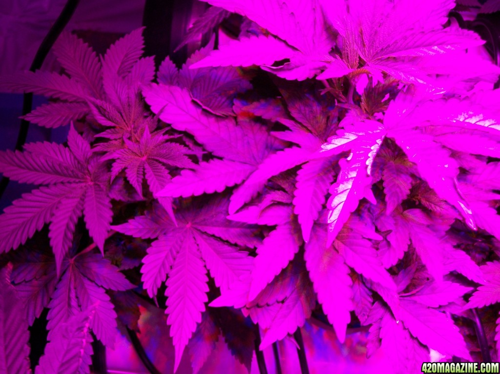 KingJohnC_s_Green_Sun_LED_Lights_Znet4_Aeroponic_Indoor_Grow_Journal_and_Review_2014-09-12_-_009.JPG
