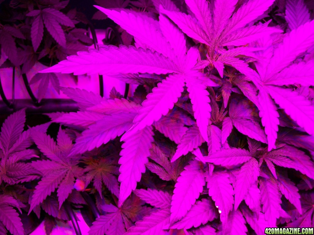 KingJohnC_s_Green_Sun_LED_Lights_Znet4_Aeroponic_Indoor_Grow_Journal_and_Review_2014-09-12_-_011.JPG