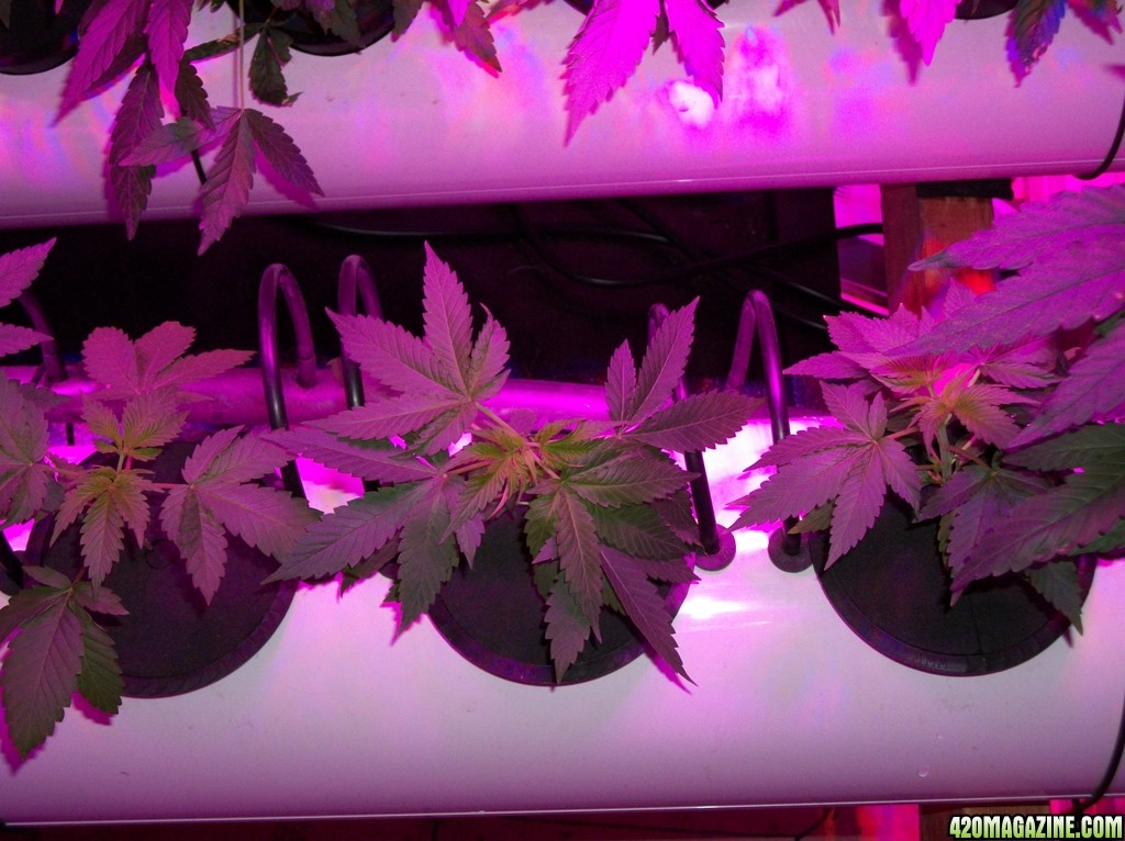 KingJohnC_s_Green_Sun_LED_Lights_Znet4_Aeroponic_Indoor_Grow_Journal_and_Review_2014-09-12_-_014.JPG