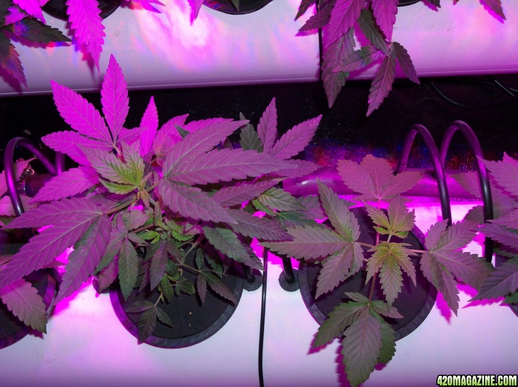 KingJohnC_s_Green_Sun_LED_Lights_Znet4_Aeroponic_Indoor_Grow_Journal_and_Review_2014-09-12_-_015.JPG