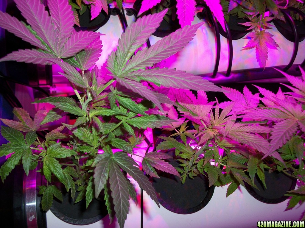 KingJohnC_s_Green_Sun_LED_Lights_Znet4_Aeroponic_Indoor_Grow_Journal_and_Review_2014-09-19_-_001.JPG