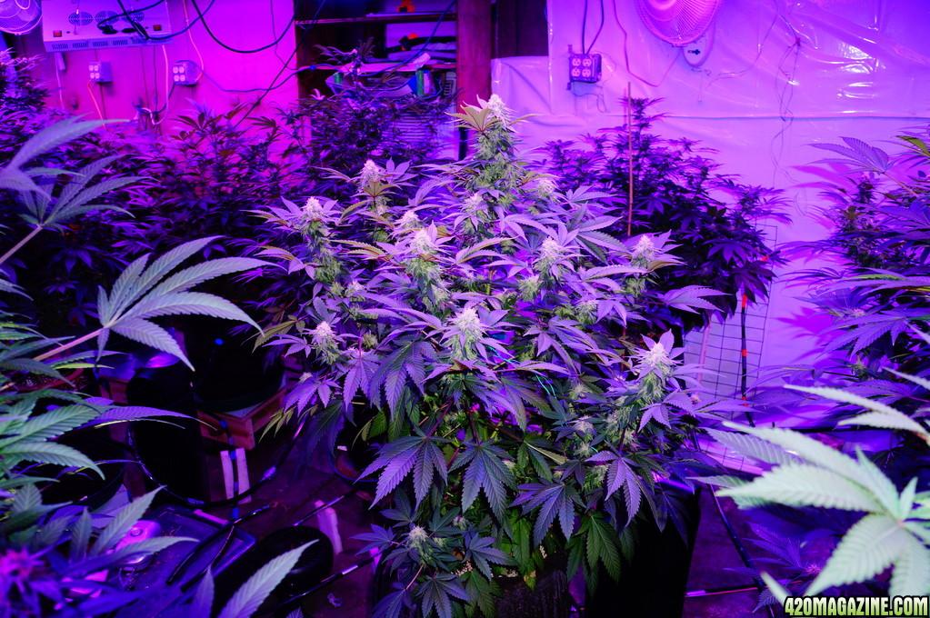Kushington_Farms_and_Lush_LED_Lighting_Pineapple_Skunk_Day_42_9_.JPG