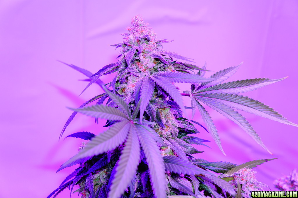 Kushington_Farms_and_Lush_LED_Lighting_Pineapple_Skunk_week_10_flushed_and_pre_chopped_8_.JPG