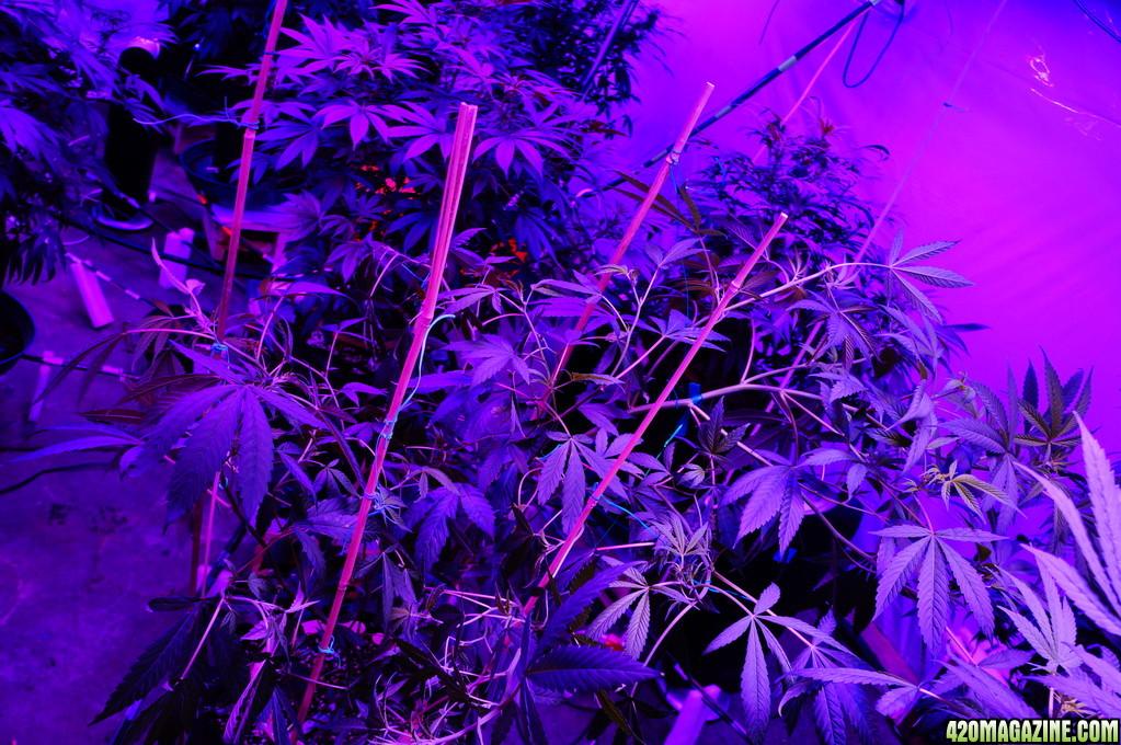 Kushington_Farms_uses_Lush_LED_Lighting_Mass_Strawberry_Diesel_Day_7_5_.JPG