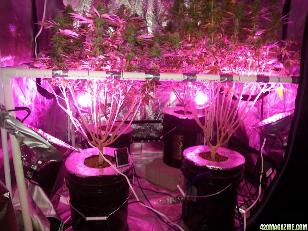 First Grow Blue Dream 4x4 Tent 1000w Light Dwc