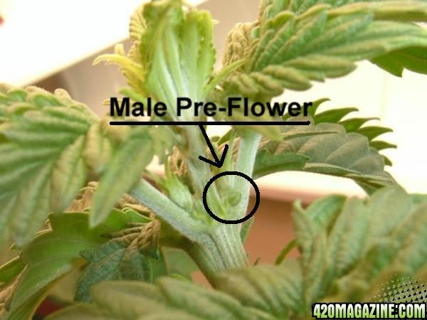 Male vs female marijuana plants preflowers
