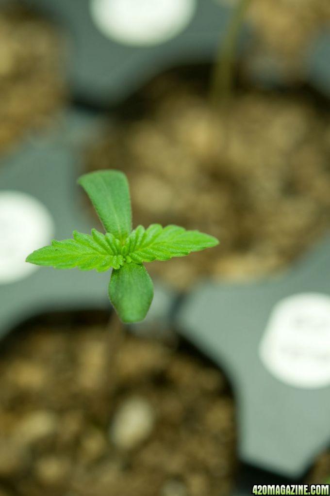 Mr Greengenes First Grow Atomic Jam