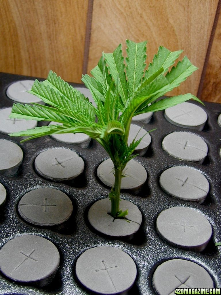how to top your plant and clone the tip 420 magazine. Black Bedroom Furniture Sets. Home Design Ideas
