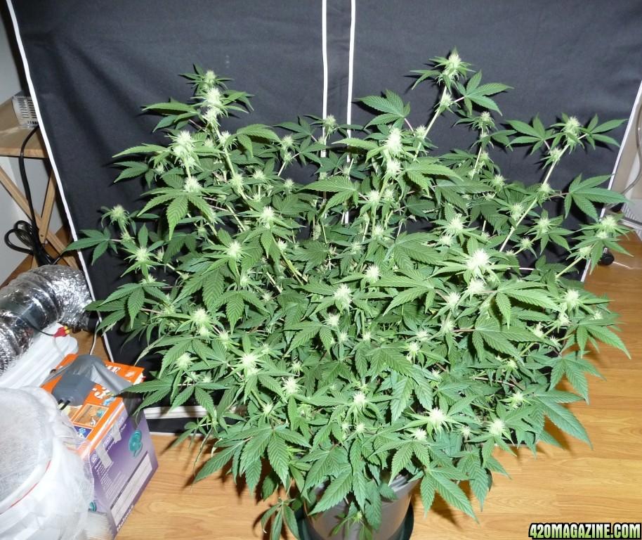 White Widow PlantWhite Widow Plant