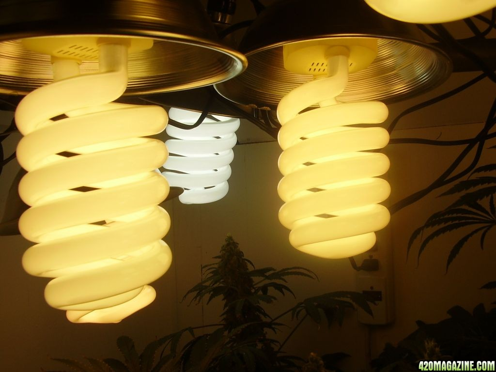 Cfl light tutorial my second grow i plan to bump it up to four 85watt instead of two i believe i can achieve bigger fatter colas yahoo arubaitofo Images