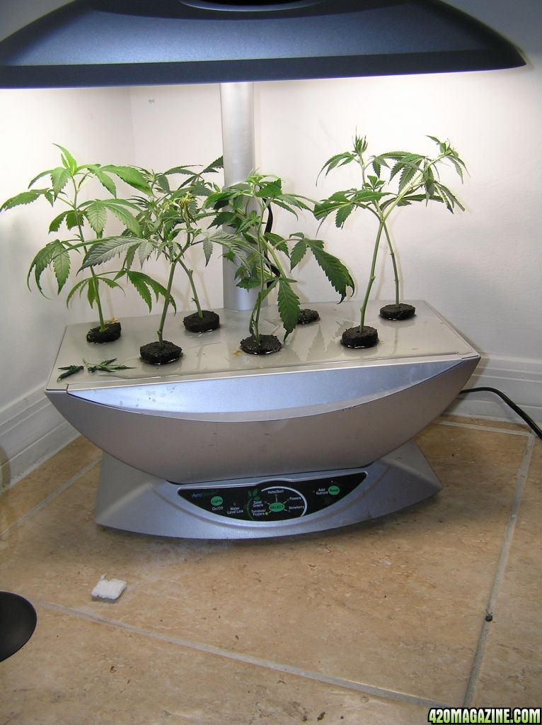 Ebb And Flow Flowering And AeroGarden Cloning