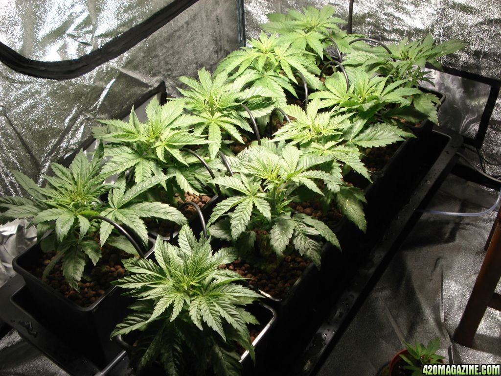 1st Time Hydro Grow Wilma 10 Pot White Russian 420
