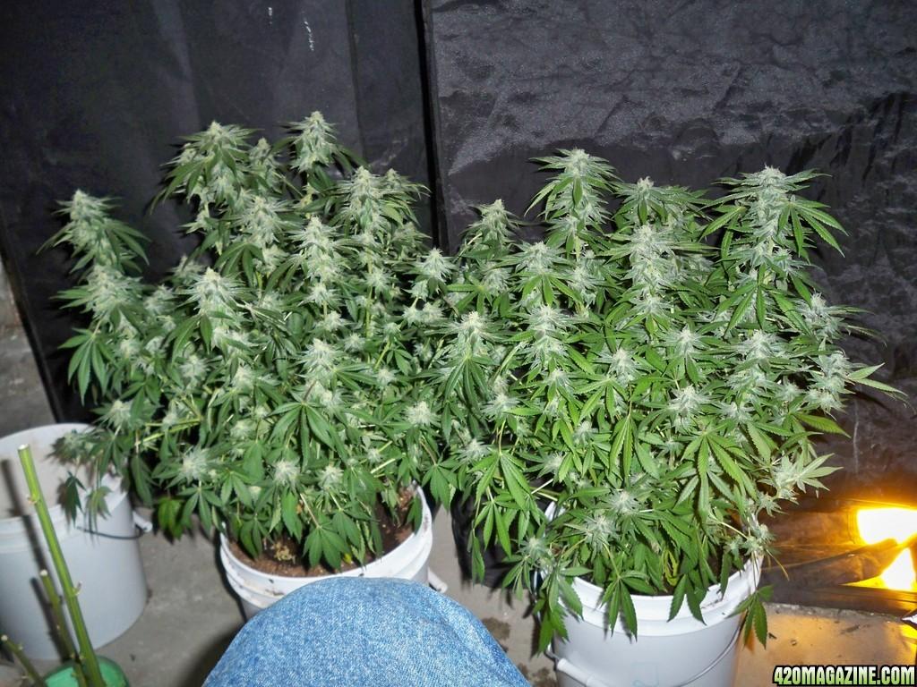 hempy sog josh 39 s 2nd indoor grow. Black Bedroom Furniture Sets. Home Design Ideas