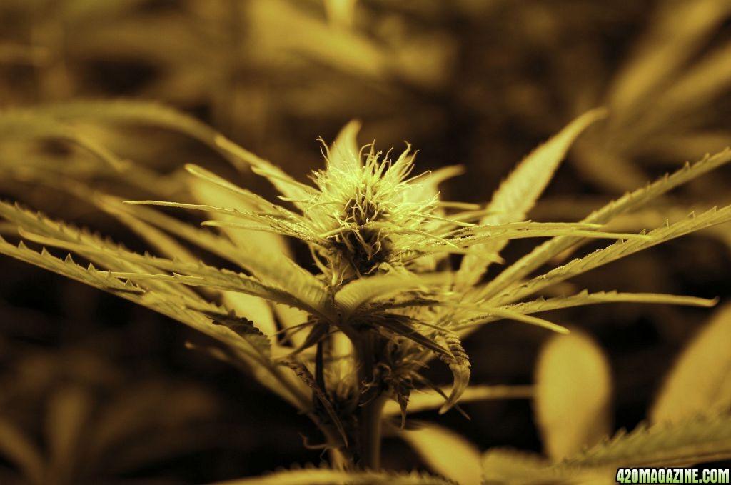 RCB_hydro_bud_shot_week_3_flower.jpg