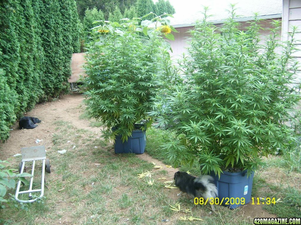 Outdoor G-13 Monster Plants 3 to 5 pounders each | 420