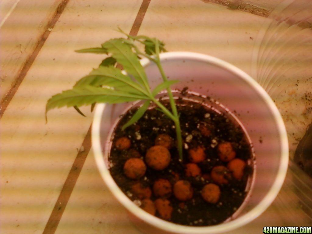 Chameleon\'s First Soil Grow 2 CHRONIC | 420 Magazine ®