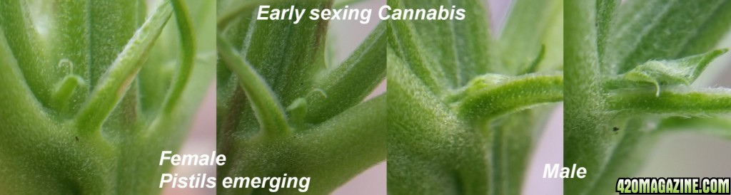 you sex cannabis plant