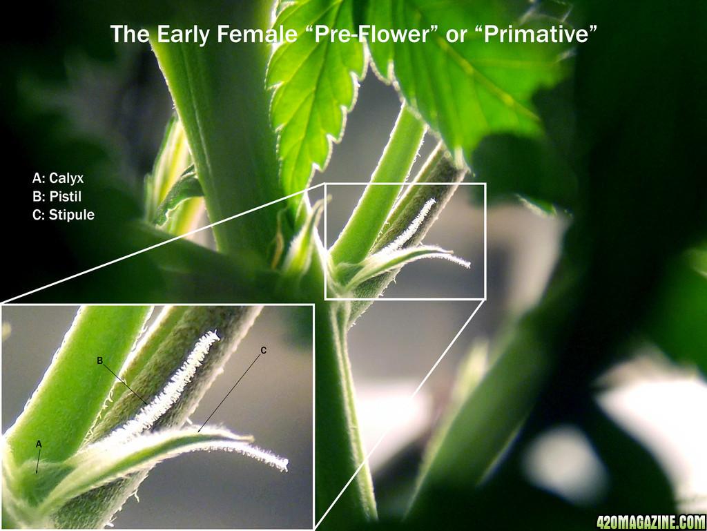 The_Early_Female_Preflower.jpg