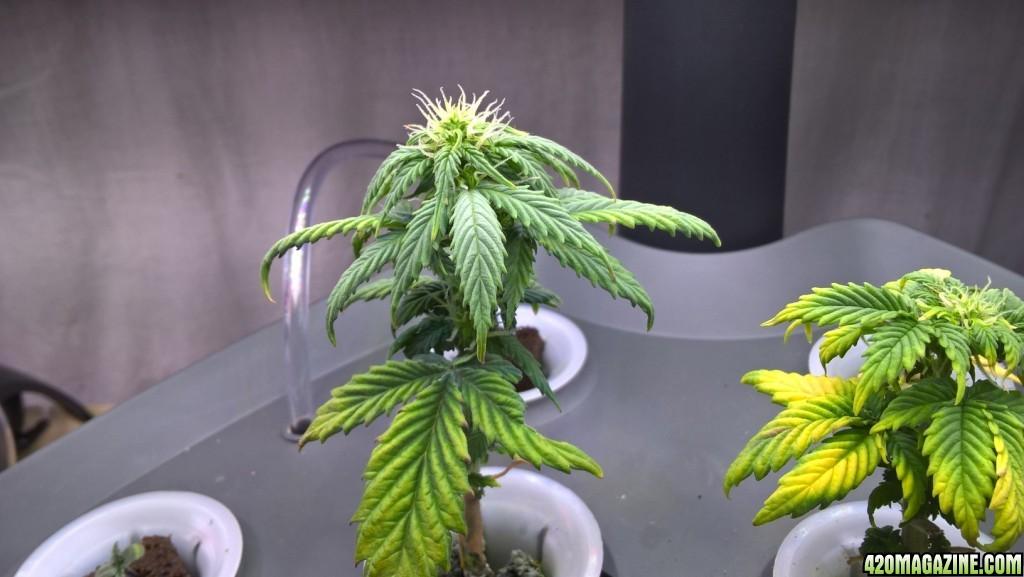 2 weeks on a lowflyer Summertime Bonsai Indoor   Outdoor Grow Plan. Aerogarden Cannabis Harvest. Home Design Ideas