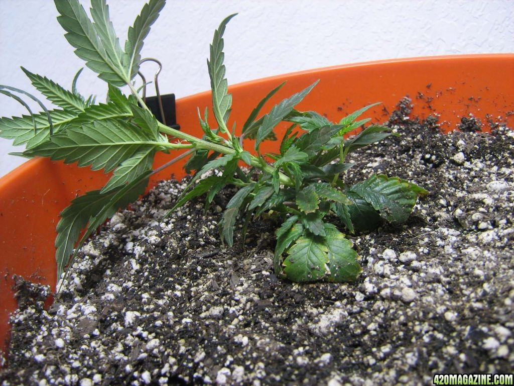 1st grow clone scrog organic soil for Organic soil
