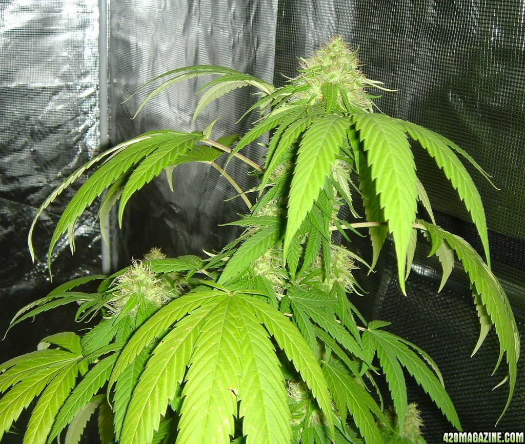 CFIT - Potted Outdoor Grow - Bag Seeds - Two Varieties