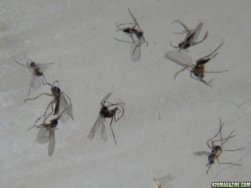 Small Flies In Bedroom Rscottlandsurveying Com. small flies in bedroom   Centerfordemocracy org
