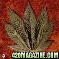 cannabis_indica_afghani.jpg