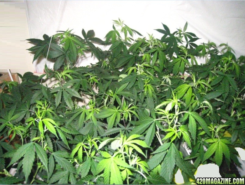 canopy31.jpg
