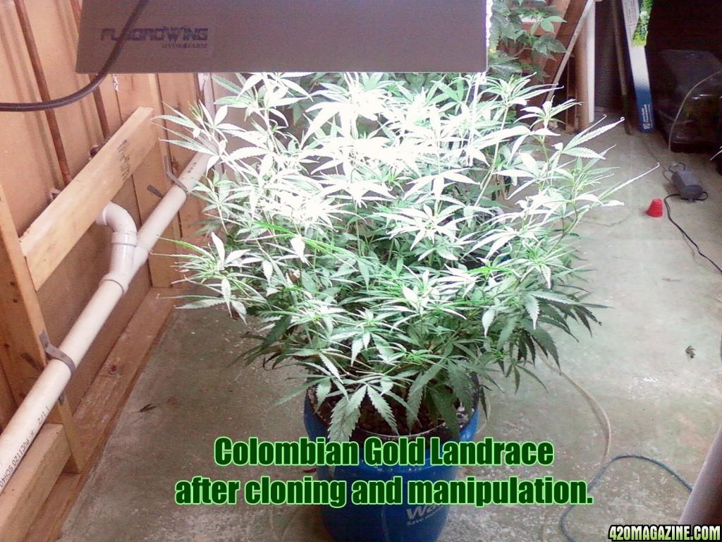 colombian_gold_1013140146.jpg