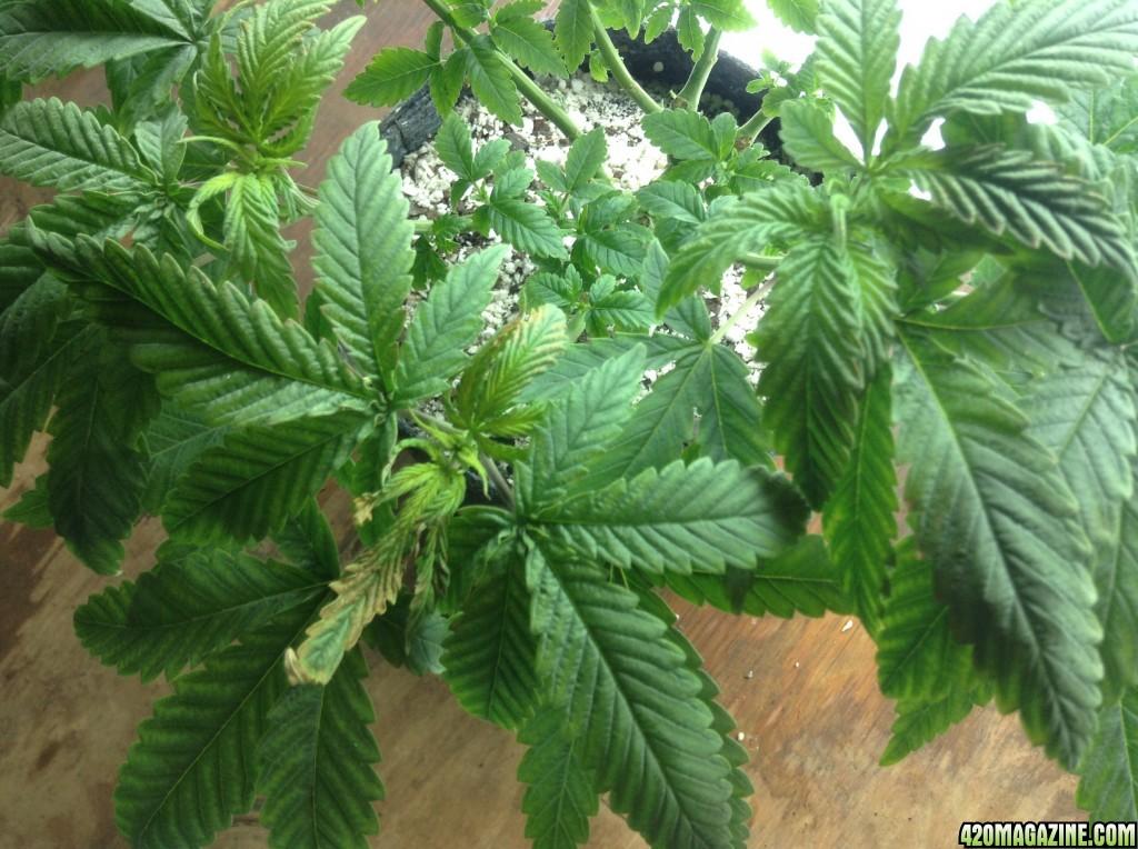 Having some sort of deficiency - White leaves - Spotting