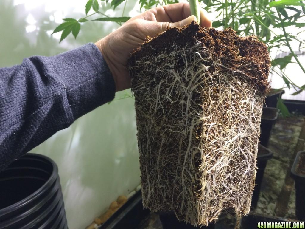 Gorilla Glue Weed Plant