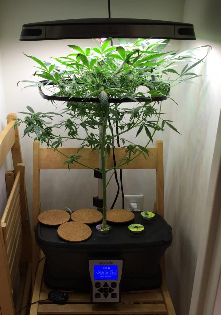 Re  Lemon OG Haze Auto Fem Under LEDLemon OG Haze Auto Fem Under LED. Aerogarden Cannabis Harvest. Home Design Ideas